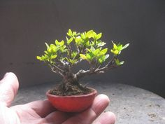 Lovely little bonsai