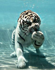 'White Water Tiger' by Big Cats, Cool Cats, Cats And Kittens, Cute Baby Animals, Animals And Pets, Funny Animals, Jungle Animals, Wild Animals, Beautiful Cats