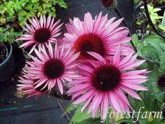 Forestfarm Gardening Blogs, Plant Nursery, Firebird, Grasses, Shrubs, Vines, Bloom, Sun, Flowers