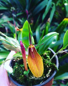Restrepia striata #Orchideen #Orchidee #Orchideengarten #orchid #orchids #orchidaceae #Dahlenburg #Wendland #Niedersachsen #Norddeutschland #Ausflugsziel #Gruppenangebote #Hamburg #Lüneburg