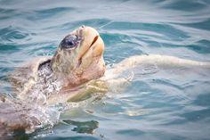 Come swim with the turtles! kaliavacations.com