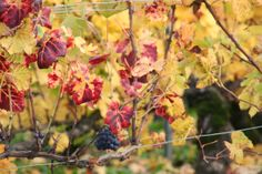 Couleurs automnales - Photographies Patrick Jassiones Champagne, Plants, Photographs, Landscapes, Colors, Plant, Planting, Planets
