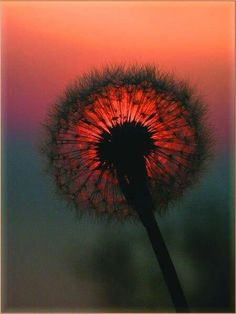 dandelion sunset~make a wish Pretty Pictures, Cool Photos, Fuerza Natural, Fotografia Macro, Dandelion Wish, All Nature, Belleza Natural, Make A Wish, Belle Photo