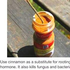 Cinnamon for hormone root