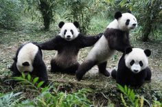 Learn a lesson from these pandas on how to deal with life.