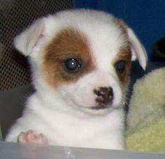 Pomchi ???YES Mom I want one for my birthday!!