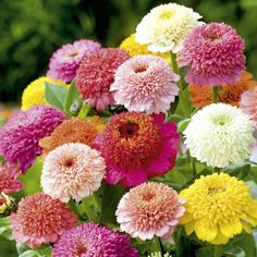 Zinnia Faberge Mix Seeds - Stunning blooms that provide excellent focal interest and texture that dries well