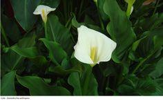 Cala - Zantedeschia aethiopica