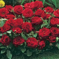 "Red Profusion Rose. 12-16"". $4.99 for 1. For the west front. ""Blooms never stop, mid-summer through late fall."""