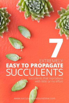 You'll love propagating these succulents! They are so easy!