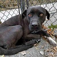 Atlanta, Georgia - Labrador Retriever. Meet NINA, a for adoption. https://www.adoptapet.com/pet/19315031-atlanta-georgia-labrador-retriever-mix