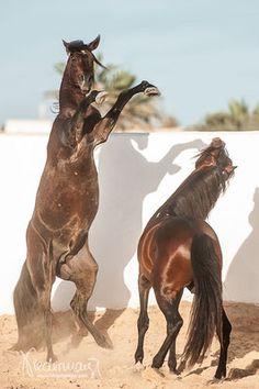 Bruce & Fantasia, Beber horses