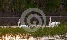 mute-swan-species-swan-member-waterfowl-family-anatidae-slovakia Mute Swan, Bird, Animals, White Swan, Animales, Animaux, Birds, Animal, Animais