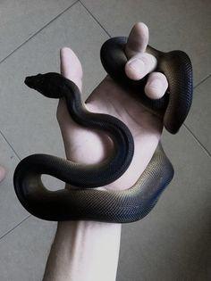 Holding a black snake