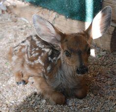 injured, orphaned mule deer fawn www.gowildlife.org