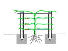 Free standing grape trellis/espalier set-up - great instructions Diy Trellis, Trellis Design, Trellis Ideas, Grape Vine Trellis, Grape Vines, Backyard Vineyard, Grape Tree, Fire Pit Decor, Grape Arbor