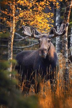 Big bull moose (Alces alces) with its antlers in velvet. Chifres 25876c0e3a6