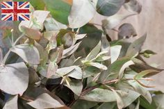 British eucalyptus, Autumn Foliage at New Covent Garden Flower Market - October 2015 New Covent Garden Market, British Flowers, Winter's Tale, Flower Market, London Wedding, Autumn, Marketing, October, Plants
