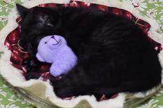 Kitten Sleeps in a Cherry Pie with Her Teddy Bear