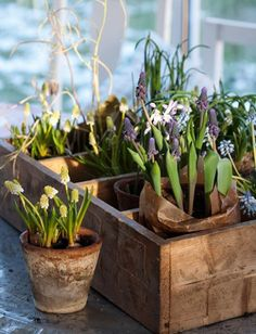 crate of potted bulbs