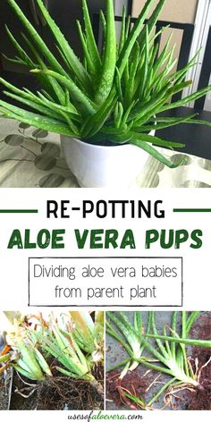 If you see a lot of pups around your plant, then it's time to divide them from the parent plant and repot them to see more aloe Vera plants. #repot #aloe #vera #from #parent #pups #usesofaloevera
