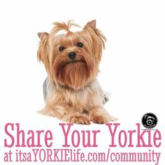 chrissy-says-time-to-share-your-yorkshire-terrier