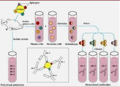 Antibodies as Cell Biological Tools - http://www.bioadvisers.com/categorybiology-protocol/