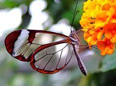 clear wings