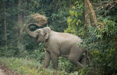African elephant populations are sometimes thought to differ only by the location of the animals, but, evolutionarily speaking, forest and savannah elephants are as separate genetically as Asian elephants and woolly mammoths.