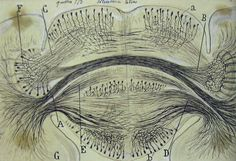 Santiago Ramón y Cajal / Cerebral ganglion of the cuttlefish, 1917 Ramones, Textures Patterns, Color Patterns, Neuron Structure, Meaningful Drawings, Brain Drawing, Neurons, Different Textures, Before Us
