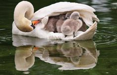 Key words: cygnets