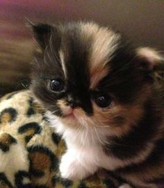 Who would like to have a snuggle with this adorable Persian kitten?