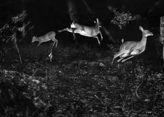 Three white-tailed deer flee in this earliest nighttime flash photograph taken in Michigan, date unknown.