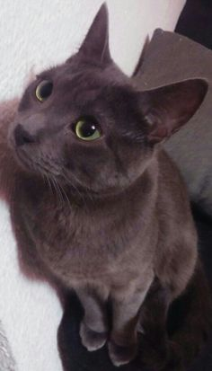 #Russian blue cat (Asgard)
