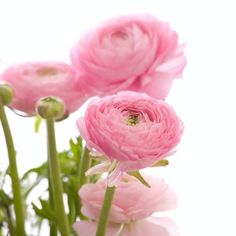 Wholesale Ranunculus Pink - Blooms by the Box