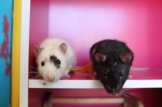 If they had an album this would be the cover : RATS