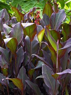 canna indica purpurea - Google Search