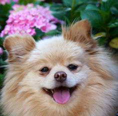A Selection of Small Dogs: PomeranianWithFlower ~ petsrank.com Dogs Inspiration