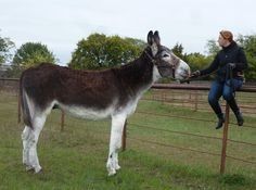 "7. 9-year-old Romulus holds the honor of being the world's tallest living donkey. At 5'8"" he's over 17 hands! ♥ Stunning, classic jewelry: www.bluedivadesigns.com #bluedivagal"