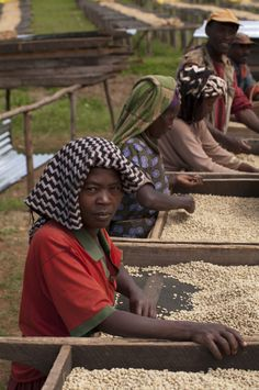 Sorting coffee, Ethiopia