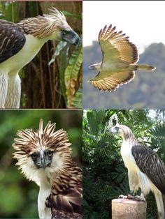 Philippine Eagle (CR)