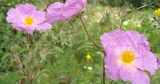 Rock Rose, Cistus incanus - image taken on 30 March on the slopes of Mount Carmel, Israel.