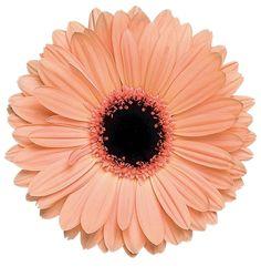 Gerbera Flower, Flower Art, Gerbera Daisy Tattoo, Image Stickers, Cute Stickers, Collage Art, Collages, Presets Photoshop, Gerber Daisies