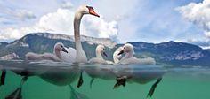 Schwäne ähneln altmodischen Menschen, zumindest durch ihren ausgeprägten Familiensinn. Die auf den Seen und Teichen Nord- und Mitteleuropas verbreiteten Vögel sind monogam. Ihre Jungen ziehen sie mit wahrer Hingabe und Aufopferung groß. Und wehe, ein Mensch kommt dazwischen! – Diese Karte hier online kaufen: http://bkurl.de/pkshop-211397 Art.-Nr.: 211397 Familienausflug | Foto: © Robin Cerutti | Text: Michael Stührenberg