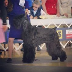 Giant Schnauzer Valintino (Ch HiStyle's Sin In A Suit) Lenny's relation :)