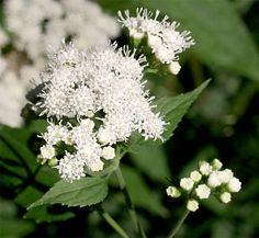 eupatoriumrugosum.jpg 600 × 554 pixels Ageratina altissima (syn.: Eupatorium rugosum)     Eupatoire rugueux -White  Snakeroot  Floraison =août à septembre Hauteur = 60-100 cm Espacement = 45 cm  Zone =  3 Plante de sous-bois intéressante pour sa floraison tardive. Ses fleurs d'un blanc pur se dressent au sommet d'une tige très ramifiée. Adabtable à une grande variété de sols, elle tolère les sols bien drainés à l'ombre.  Plante toxique.