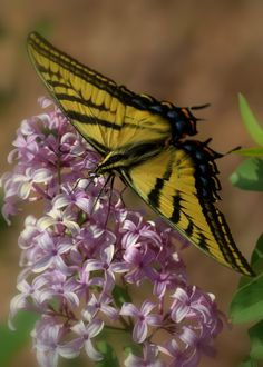 Swallowtail Butterfly on Lilac by Nate A, via 500px