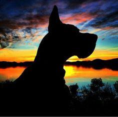 Gorgeous great dane sunset