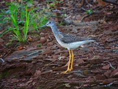 Yellow Legged Sandpiper by Lupin87