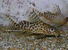 Featherfin Synodontis (Synodontis eupterus) www.fishkeeper.co.uk #tropicalfish